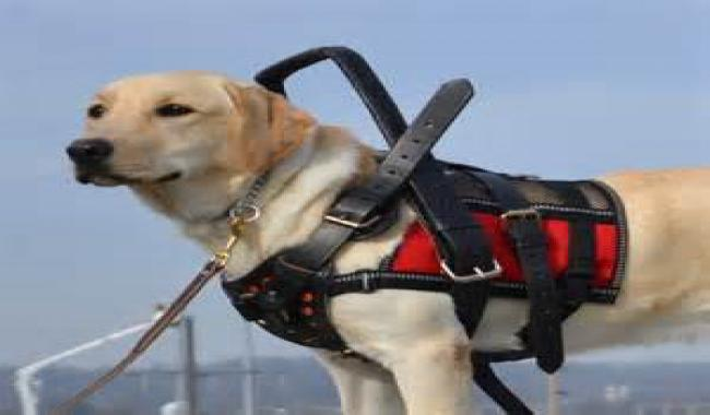 An image of golden lab with harness